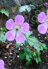 Geranium Sweet Heidy