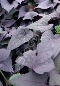 Ipomoea batatas 'Sweet Caroline™ Bewitched Purple'