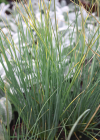 Juncus inflexus 'Blue Arrows'