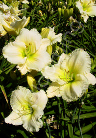 Hemerocallis 'Cool It'
