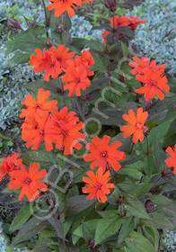 Lychnis x arkwrightii 'Orange Gnome'