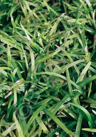 Ophiopogon japonicus 'Nanus'