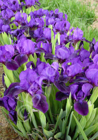 Iris pumila 'Deep Purple'