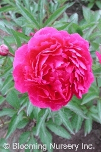 Paeonia 'Double Carmine Red'