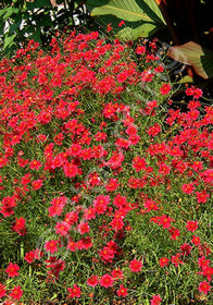 Coreopsis 'Limerock Ruby'
