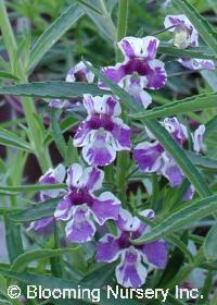 Angelonia angustifolia 'Tiger Princess'