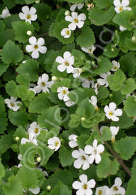 Bacopa 'Great White'