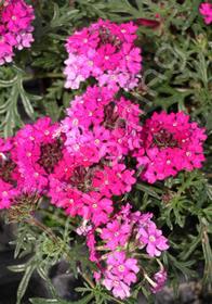 Verbena tenuisecta 'Magelana Lipstick'