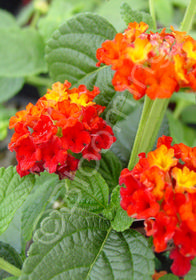Lantana camara 'Dallas Red'