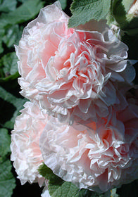 Alcea rosea 'Chater's Double Apricot'