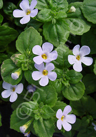Bacopa 'Gulliver Lilac'