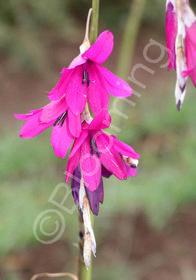 Dierama pulcherrimum