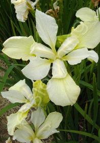Iris sibirica 'Chartreuse Bounty'
