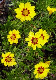 Coreopsis lanceolata 'Sterntaler'