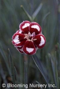 Dianthus gratianopolitanus 'Lace Hero'