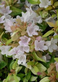 Abelia schumanii 'Saxon Gold'