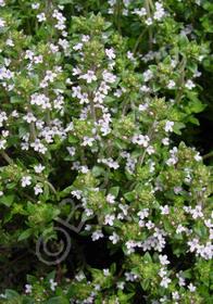 Thymus vulgaris 'Narrow Leaf French'