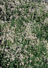 Thymus thracicus 'Lavender'
