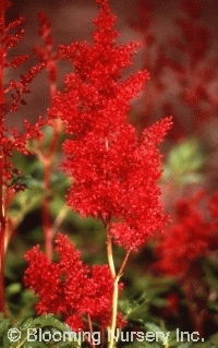 Astilbe x japonica 'Montgomery'