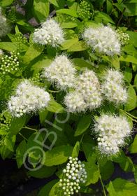 Spiraea japonica 'White Gold'