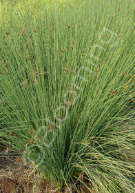 Juncus 'Occidental Blue'