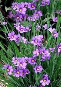 Sisyrinchium angustifolium 'Lucerne'