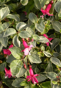 Fuchsia microphylla 'Variegated Lottie Hobby'