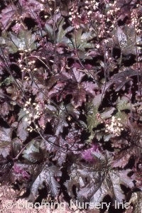 Heucherella 'Cinnamon Bear'