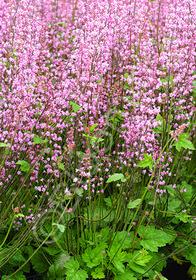 Heucherella alba 'Bridget Bloom'