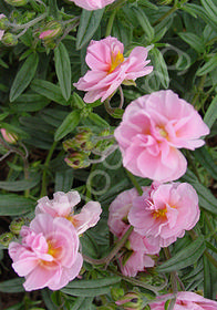 Helianthemum 'Annabel'