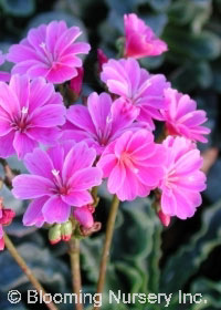 Lewisia cotyledon 'Blue Purple'
