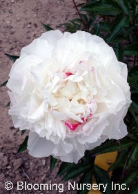 Paeonia lactiflora hybrid 'Shirley Temple'