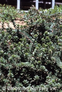 Arctostaphylos uva-ursi 'Alaska'
