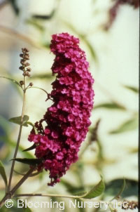 Buddleia davidii 'Purple Prince'