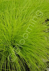 Deschampsia flexuosa 'Aurea'