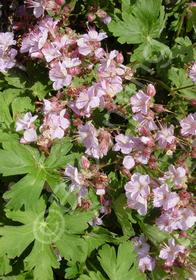 Geranium macrorrhizum 'Ingwerson's Variety'