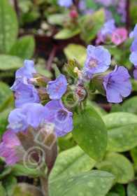 Pulmonaria saccharata 'Smokey Blue'