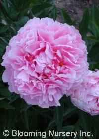 Paeonia 'Large Medium Pink'