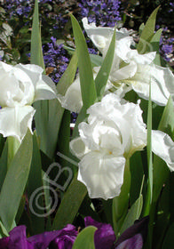 Iris pumila 'Alba'
