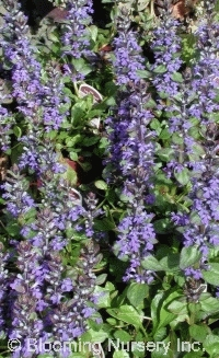 Ajuga reptans 'Jungle Beauty Improved'