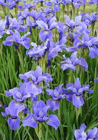 Iris sibirica 'Dancing Nanou'