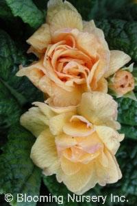 Primula vulgaris 'Sunshine Susie'
