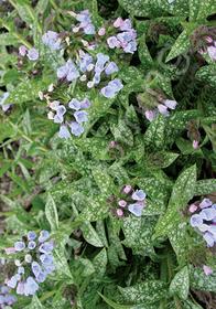 Pulmonaria longifolia 'Roy Davidson'