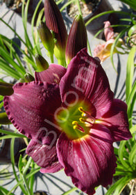 Hemerocallis 'Barbary Corsair'