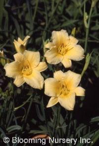 Hemerocallis 'Butterpat'