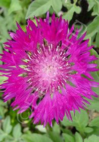 Centaurea dealbata 'Steenbergii'