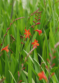 Crocosmia 'Bressingham Beacon'