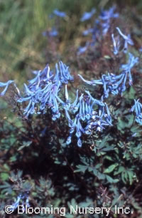 Corydalis flexuosa 'Blue Panda'