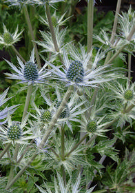 Eryngium amethystinium 'Sapphire Blue'
