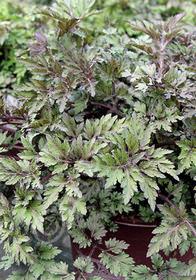 Artemisia lactiflora 'Guizhou'